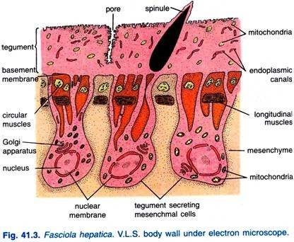 Structure of Body Wall Under Electron Microscope